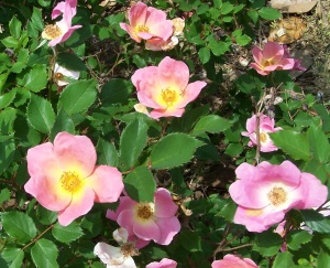 Knock Out Rosa 'Radcon'